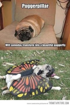 The transformation of a pug…