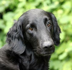 Flat coated Retriever from Just Add Water Kennels Therapy Dog Training, Therapy Dogs, Nice Dogs, I Love Dogs, Flat Coated Retriever, Tier Fotos, Girl And Dog, Hunting Dogs, Spaniels