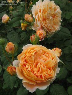 David Austin Rose 'Crown Princess Margareta' Rosa. one of my favorite, an excellent rose!