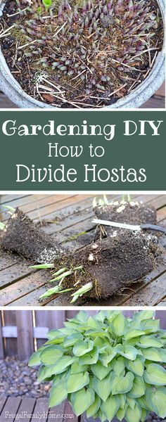 Gardening DIY, How to Divide Hostas - Frugal Family Home