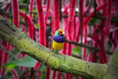 Almost all colours of the rainbow in one little beautiful creature.. The name of the species is Lady Gouldian finch.