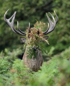 """Médaille d'argent : cette photo intitulée """"Vous ne m'avez pas vu..."""", où un cerf semble s'essayer à l'art du camouflage.  (Comedy Wildlife Photography Awards)"""