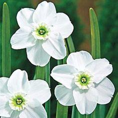"""""""Green Eyes"""" Daffodil (5 bulbs, Breck's)."""