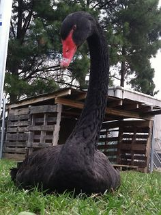 Rescued Black Swan - not a chicken but so beautiful!