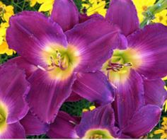 DAYLILY 'STRUTTER'S BALL' (Hemerocallis cv.): Stunning dark purple blossoms with butter centers on 28 inch plants at midsummer. Wonderful with 'Moonshine' yarrow. For full to part sun. Can tolerate clay. Moderate water once established. Daylily buds, tubers, and young spring leaves are all edible. Photo courtesy Mountaincrest Gardens.