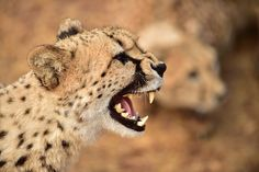 De Wildt Cheetah and Wildlife Centre, Hartbeespoort, North West, South Africa All About Sharks, Cheetahs, African Animals, Afrikaans, Big Cats, North West, Beautiful Creatures, Animal Photography, Conservation