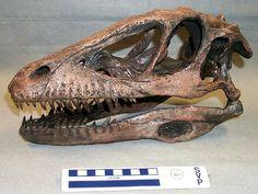 Crâne de Deinonychus antirrhopus