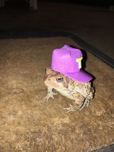 Sapo Meme, Pet Frogs, Cute Reptiles, Funny Frogs, Frog And Toad, Frog Frog, Cute Little Animals, Amphibians, Funny Animals
