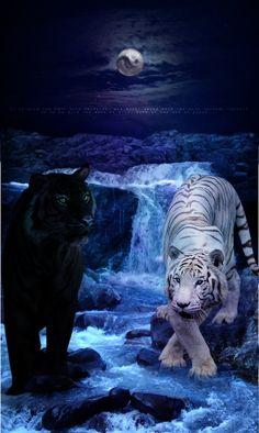 White and black tiger Majestic Animals, Rare Animals, Cute Baby Animals, Big Cats Art, Cat Art, Tiger Pictures, Animal Pictures, Beautiful Cats, Animals Beautiful
