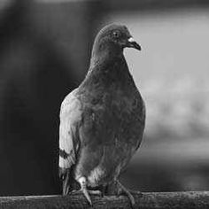 Gustav was one of many specially-trained pigeons that carried vital messages from Europe to England during the Second World War. I know that it...