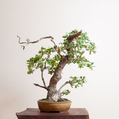 Oregon White Oak | Bonsai Mirai