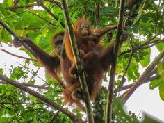 Support the replanting & seedling maintenance at Bukit Piton forest restoration, that will provide shelter & food source for the orang utan & other wildlife. Orangutan, Borneo, Habitats, Shelter, Restoration, How To Memorize Things, Wildlife, Orange, Animals