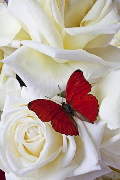 Red butterfly on white roses close up by Garry Gay