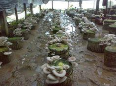kütükte kapak kesme yöntemi ile kavak(kayın,istiridye) mantarı yetiştirmr