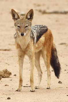 Black-backed jackal standing, three-quarter view - Million Feed Amor Animal, Mundo Animal, Black Backed Jackal, Animals Beautiful, Cute Animals, Predator Hunting, Animal Categories, Wild Animals Photos, African Wild Dog