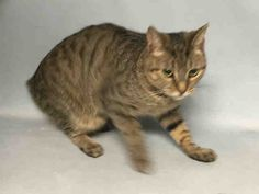 BUTTER SAFE💛💛, 10/06/17  - A1126363 - - Brooklyn ***TO BE DESTROYED 09/28/17*** SHY BUT BEAUTIFUL BUTTER WAS ABANDONED ON A BUSY STREET IN A CAT CARRIER – SHE NEEDS A HOME TONIGHT! BUTTER was found on a busy street abandoned in a cat carrier. The finder thought she would be better off in the shelter so she was brought to the ACC. Poor Butter has been through enough and she is shy and wary of her surroundings and strangers. She did allow petting and gave head butts once she relaxed