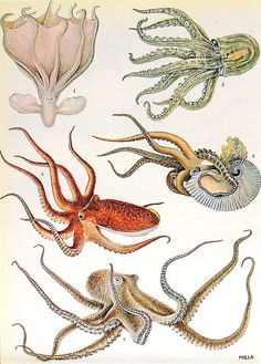 rhamphotheca:  octopoda: Squids and Octopus - 2 Sided 1972 Encyclopedia Book Plate (via mysunshinevintage on Etsy.)