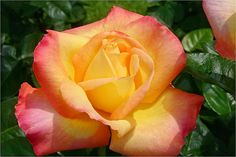 'Peace' Rose - Photo by Rich Baer