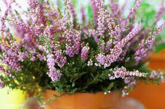 calluna vulgaris in ghiveci Plants, Balcony, Plant, Planting, Planets