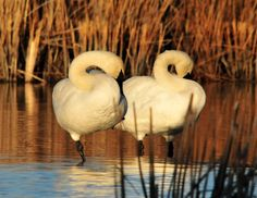 #birds #couple #elegance #graceful #large #nature #outdoors #pair #portrait #reeds #resting #sleeping #standing #tranquil #trumpeter swans #two #water #wildlife