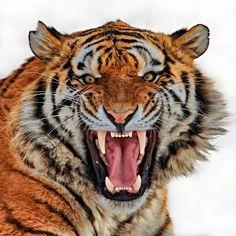 Tiger ....