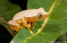 Fornasini's Spiny Reed Frog