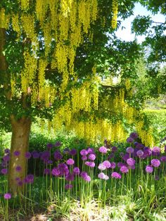 It's Laburnum, aka the Golden Chain tree! Easy to prune, always good news, as we have three or four.
