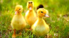 Learning to raise ducklings is easy, and ducks are some of the most entertaining and useful livestock you can add to your homestead.   We started to raise ducklings to our homestead in hopes they w…