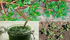 La verdolaga, Portulaca oleracea, es una de esas plantas mal llamadas malezas, que aquí en