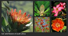 Wild flowers of South Africa. Images that you can find on , , Wildflowers, Royalty Free Images, South Africa, The Creator, Victoria, Illustration, Artist, Plants, Photos