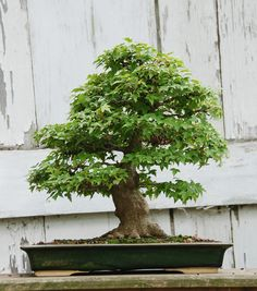 amazing trident maple bonsai