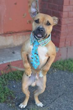 SAFE 10-13-2015 --- Brooklyn Center CASH – A1053140 MALE, BROWN / WHITE, PIT BULL MIX, 2 yrs STRAY – STRAY WAIT, NO HOLD Reason STRAY Intake condition EXAM REQ Intake Date 09/29/2015