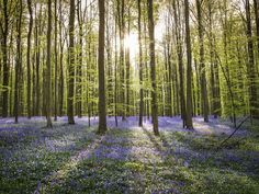 Once a year this forest in Belgium the flowers are really blooming. That is when this forest turns into a fairytale forest. The sunlight in the background, adds a lot to the character to this photograph.