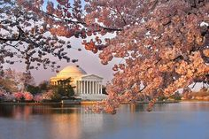 Strolling through the cherry blossoms in Washington, D.C.--the beauty is overpowering!