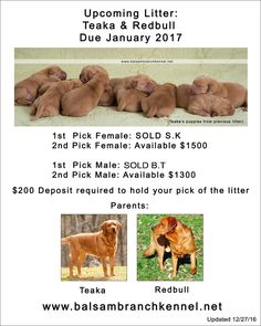 Puppies for Sale | Fox Red Labrador | Balsam Branch Kennel | Wisconsin | Ready to go home February/March 2017 fox-red-lab-puppies-for-sale-wi-tr2
