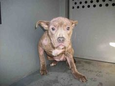 """*Urgent! RARE Chippitt!!! (CHi-pitty puppy) BEAUTIFUL YOUNG """"BUTTERSCOTCH"""" is SWEET AS PIE say those who have met her!!! SHe has MANGE & needs treatment STAT!! But you can see she is COMPLETELY CHARMING BABY DOLL!!!!! a SUPER PUP!!! HELP!!  @BALDWIN PARK, in LA,CA WHICH IS KILLING WOOFS LIKE FLIES!!!! D#A4533207 Butterscotch   5 months old.  I have been at the shelter since Jan 12, 2013.  Los Angeles County Animal Control - Baldwin Park at (626) 962-3577"""