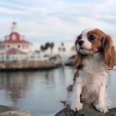 Are you looking for the best Cavalier King Charles Spaniel dog names? Doubtless, your Cavalier King…. The post 30 Best Dog Names For Cute Cavalier King Charles Spaniels [PICTURES] appeared first on SH Dogs. King Charles Puppy, Cavalier King Charles Dog, Best Dog Names, Best Dogs, Cavalier King Spaniel, Cockerspaniel, Spaniel Puppies, Cute Dogs And Puppies, Tiny Puppies