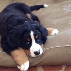 Sweet little pup Cute Dogs And Puppies, I Love Dogs, Pet Dogs, Dog Cat, Doggies, Cute Animal Pictures, Puppy Pictures, Burmese Mountain Dogs, Bernese Dog