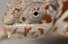 polka chameleon (panther)