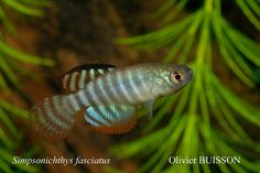 "Hypsolebias fasciatus F2 ""TT 03/07NP"""