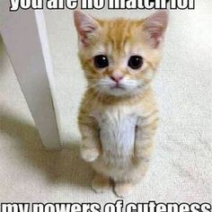 Super cute animals, animals and pets, curious cat, kittens cutest, cats and Cute Animal Memes, Funny Animal Quotes, Animal Jokes, Cute Funny Animals, Cute Baby Animals, Funniest Animals, Cat Quotes, Animals Kissing, Funny Cute Cats