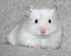 Dianthus Figaro - Satin Black-eyed White LH Syrian Hamster | Hamster iFokus