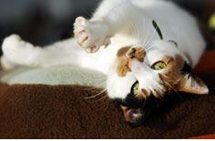 What Is Cat Insurance And How Does It Work Trupanion Cat Insurance What Cat Cats