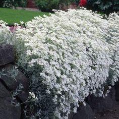 Silverarv 'Silver Stone' Cerastium Tomentosum-Gruppen Silverarv 'Silver Stone' Caryophyllaceae Dekorativ marktäckare som har silverfärgat bladverk och blommar med vita blommor.