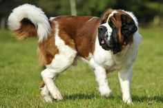 St. Bernard Dog | British woman rescues St Bernard dog from Cyprus