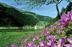 Colchicum Flowers - Uzungöl, Çaykara, Trabzon / Eastern Blacksea Region of Turkey