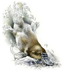 Hey, I found this really awesome Etsy listing at https://www.etsy.com/listing/155709175/platypus-watercolour-wildlife-art-nature