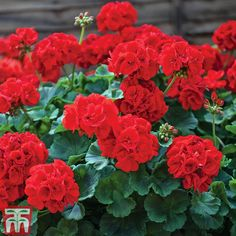 Seeds Red Geranium Bonsai Flowers Garden Plants Pots Home Garden Cranesbill Geranium, Geranium Plant, Hardy Geranium, Geranium Flower, Geranium Oil, Geraniums Garden, Red Geraniums, Garden Plants, Types Of Flowers