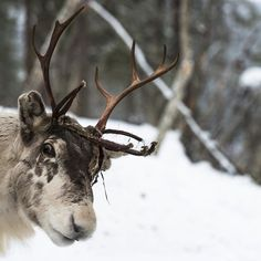 Did you know that reindeer are the only deer where both males and females sport antlers! #christmas #facts #nature