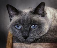 beautiful cat with beautiful blue eyes